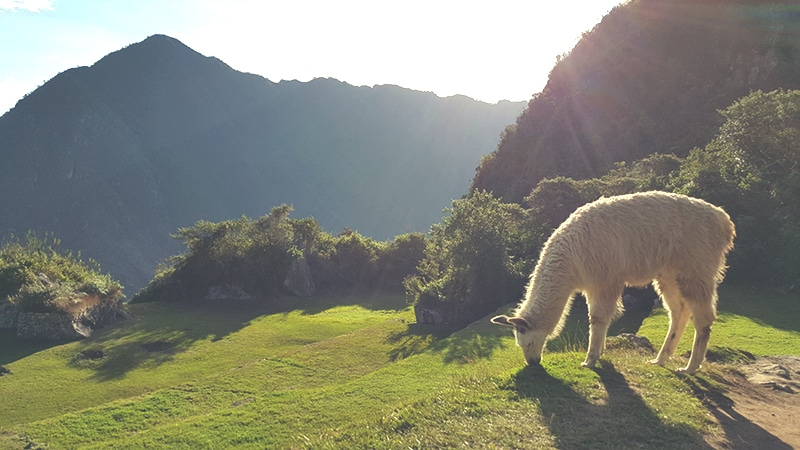 inca_jungle_inka_trail_abenteuer_peru_trekking_nach_machu_picchu_wanderung_cusco_anden_tour_lama_alpaka_dschungel