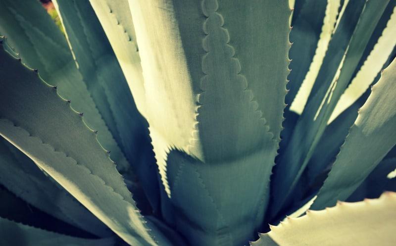 kaktus_pflanze_anden_chinchero_cusco_peru_heiliges_tal