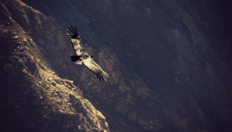 tour_colca_canyon_arequipa_vulkanstadt_hoher_pass_altiplano_peru_tal_chivay_berge_anden_kondor