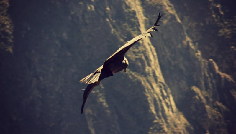 tour_colca_canyon_arequipa_vulkanstadt_hoher_pass_altiplano_peru_tal_chivay_berge_anden_kondor_2