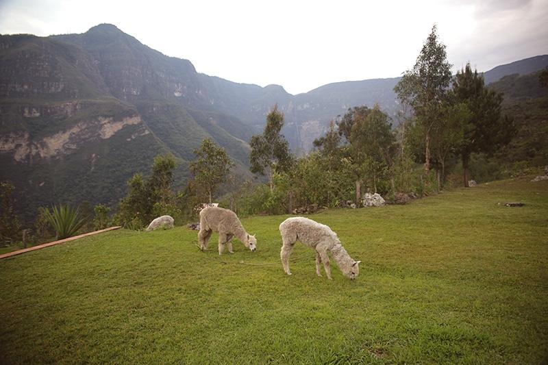 Gocta_Lodge_Nordperu_Reisen_durch_Peru_Lamas_garten_Hotel