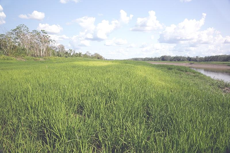 Reis_anbau_peru_nahrungsmittel_südamerika_regenwald_essen_speisen_gerichte_arroz
