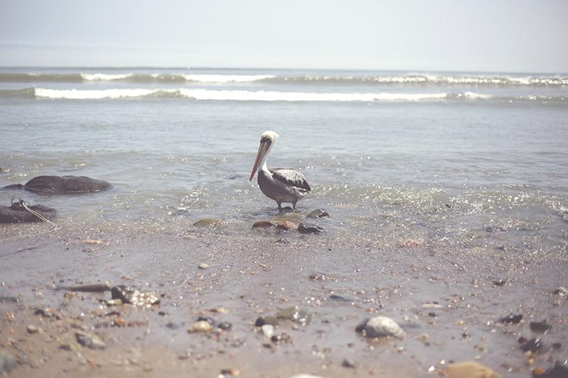 pelikan_huanchaco_peru_küste_trujillo_ozean_strand_wasser_vogel_fauna_200