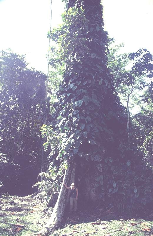 baum_amazonas_iquitos_selva_dschungel_regenwald_urwald_wald_peru