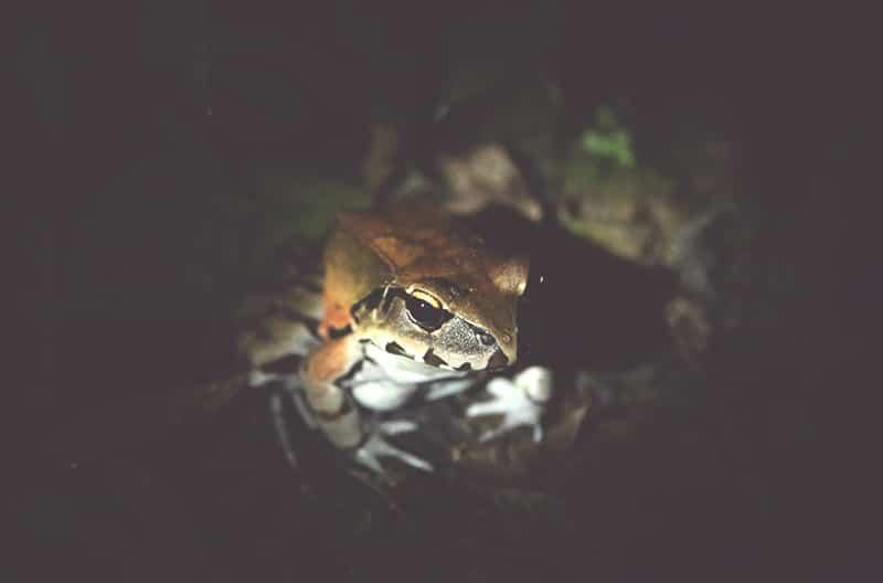 frosch_regenwald_iquitos_amazonas_fauna_tierwelt_nachwanderung
