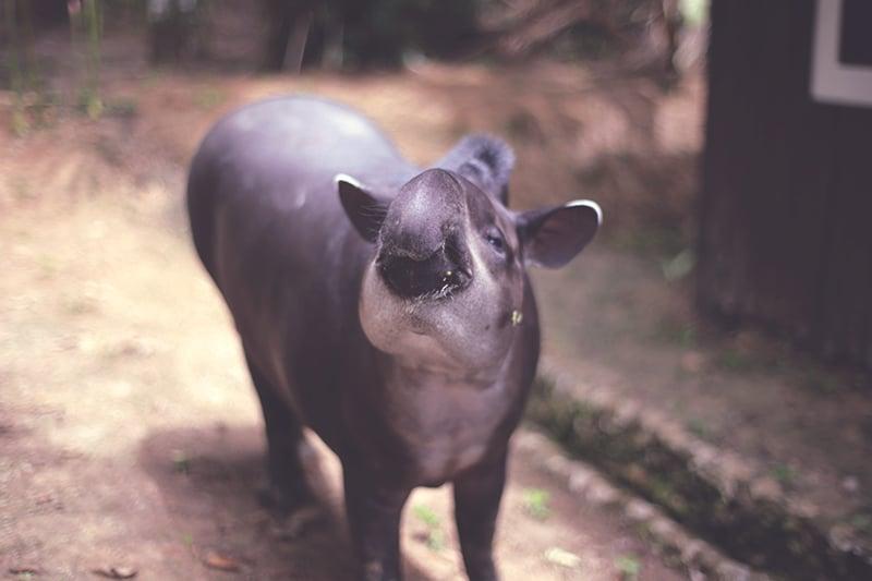 tapir_fauna_regenwald_peru_Iquitos_reisen_lodge_200