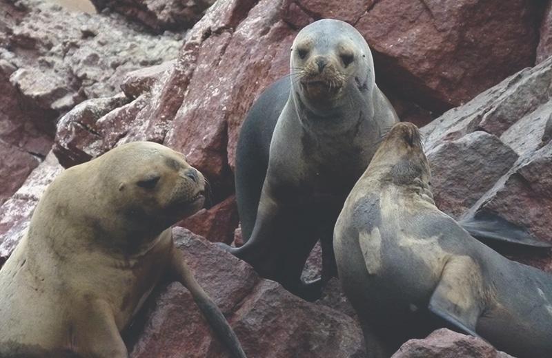 nationalpark_paracas_peru_küste_inseln_islas_ballestas_bootstouren_bus_seelöwen_robben