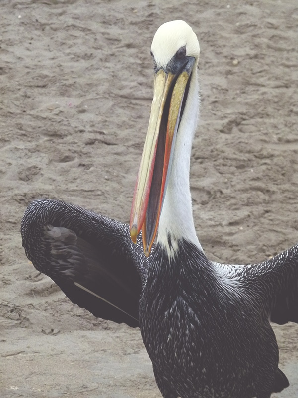 nationalpark_paracas_peru_küste_inseln_islas_ballestas_touren_bus_pelikane