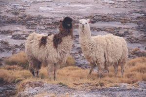 alpakas_salar_de_uyuni_bolivien_salzwu%cc%88ste_jeep_tour_altiplano_chile_san_pedro_de_atacama