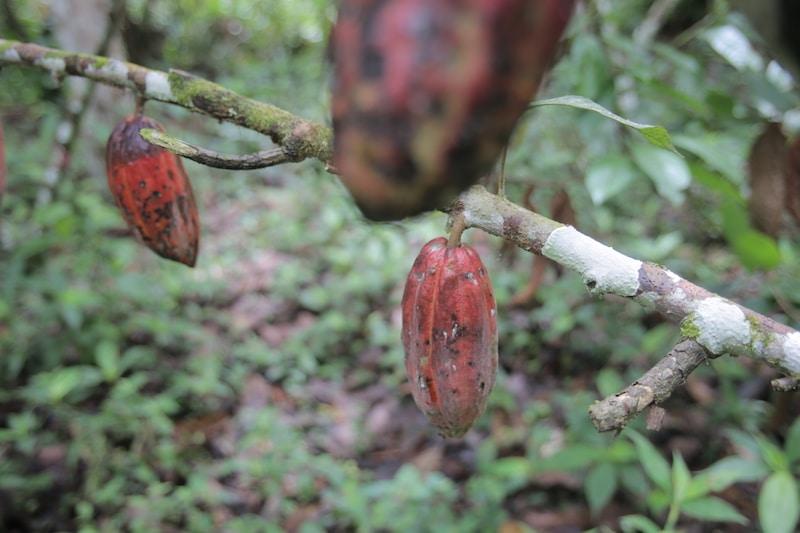 kakao_tarapoto_peru_reise_touren_san_martin_flug_regenwald_wasserfa%cc%88lle