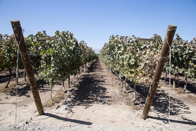 Weintrauben in Ica