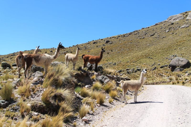 Lamas und Alpakas in Peru