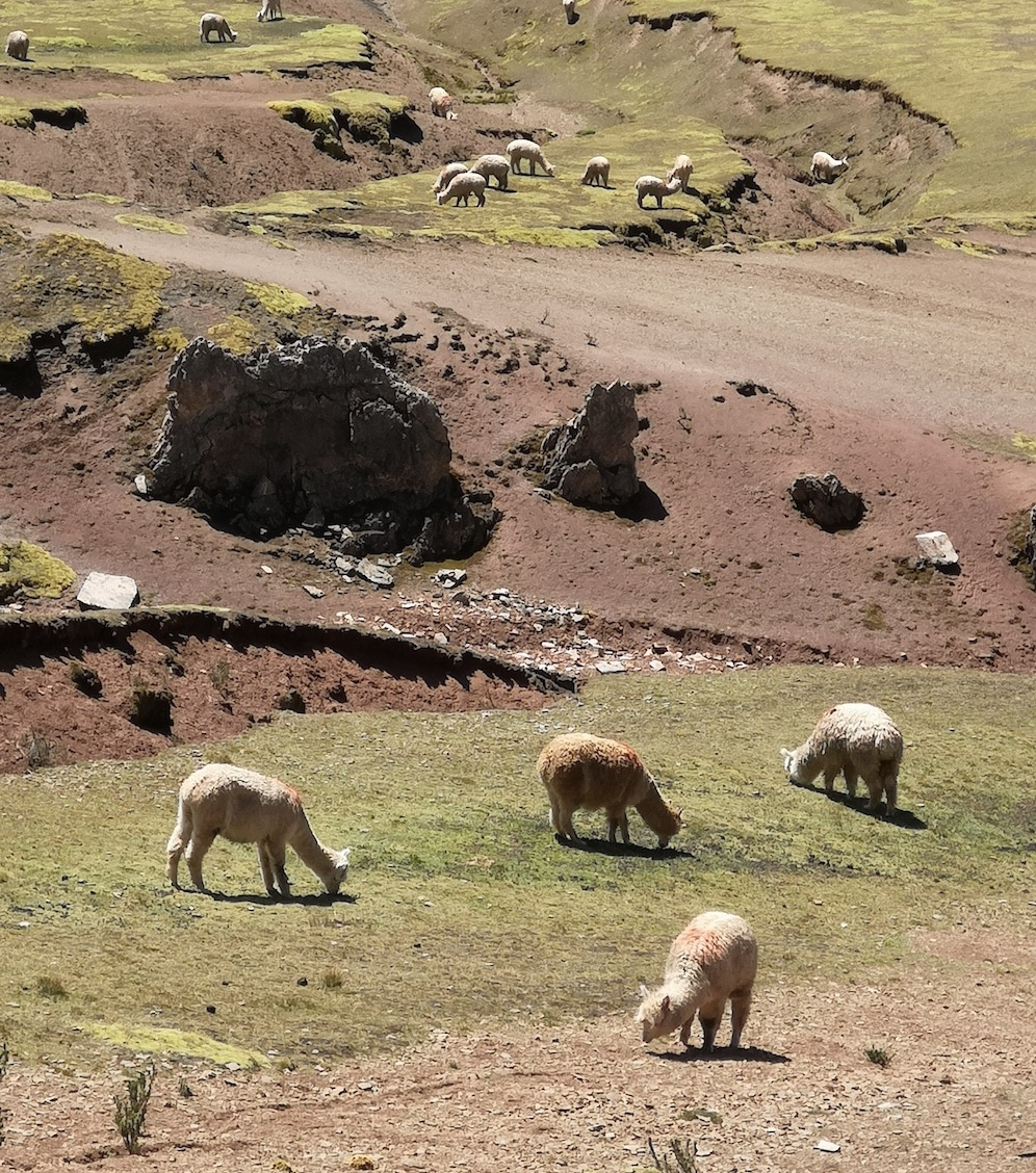Eine weitere Herde von Alpakas, die neben dem Rainbow Mountain in der Sonne grast